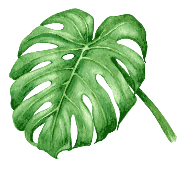 Monstera plants for sale