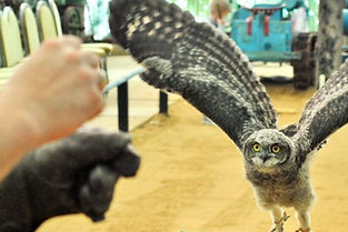 Training an African spotted eagle owl at Baytree Owl and Wildlife Centre