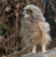 Baby African spotted eagle owl at Baytree Owl and Wildlife Centre
