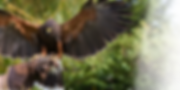 birdofpreyexperience.png