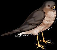 sparrowhawk.png