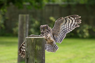 Flying an African spotted eagle owl at Baytree Owl and Wildlife Centre