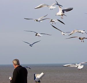 Seagull flocks can become aggressive