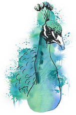 Peacock Watercolor.png