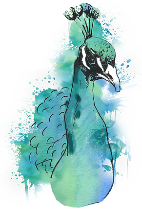 Peacock Watercolor.png