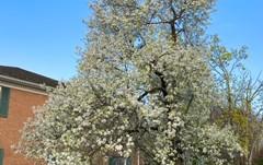 PLANT THIS, NOT THAT                             Malus 'Spring Snow' v. Bradford Pear