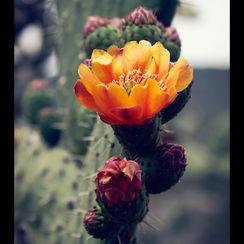 Flickr - Nopal florece