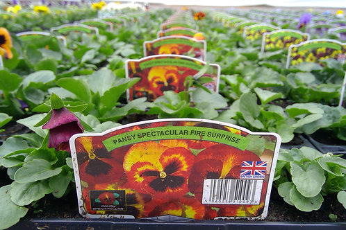 Pansy Fire Suprise 6 Pack