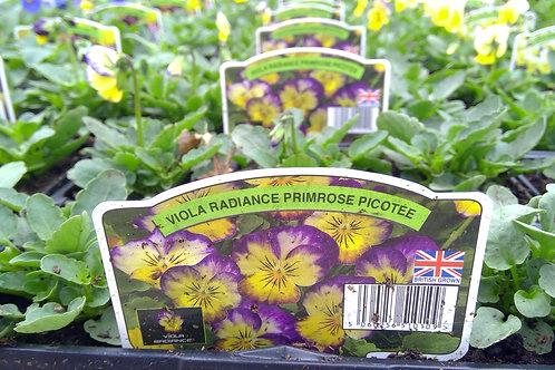 Viola Primrose Picotee 6 Pack