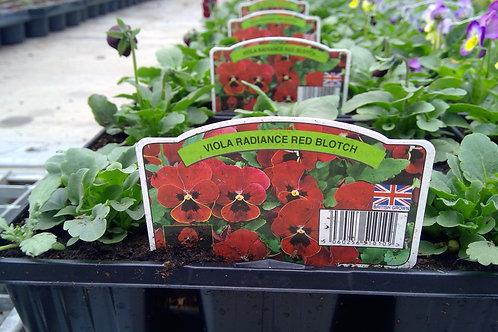 Viola Red Blotch 6 Pack
