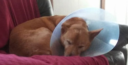 Thank GOD for doggie tranquilizers...MAYBE she will stop running into things now..