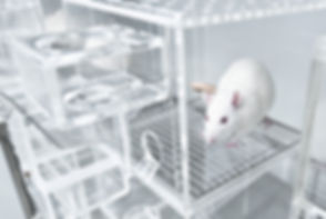 Animal experiments for urine collection using white rats in metabolic cages