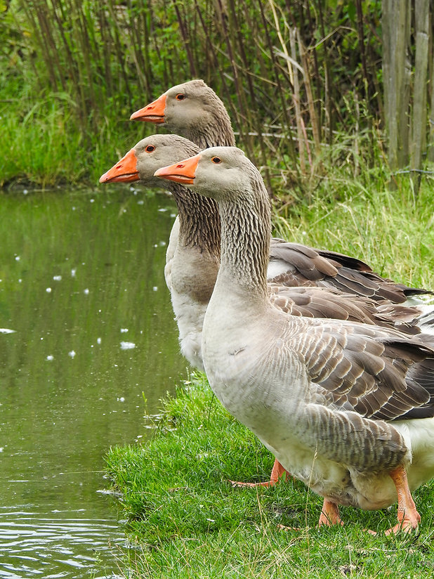 Toulouse geese (French breed), three gra