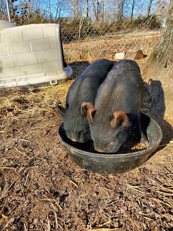 3mo old American Guinea Hog piglet