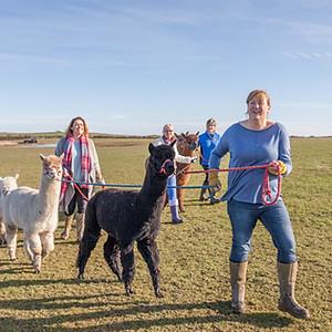 Alpaca Walk, Hemscott Hill Farm
