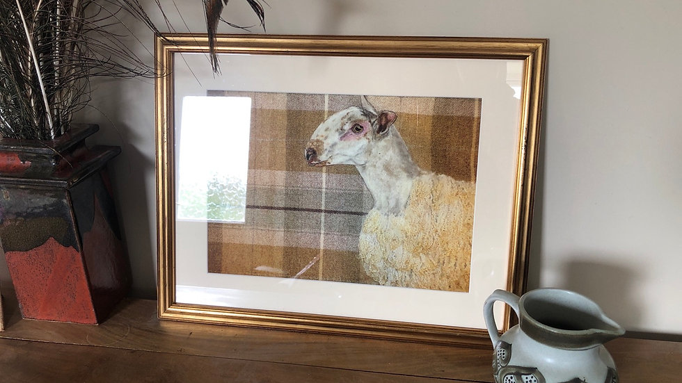Blue faced Leicester framed print
