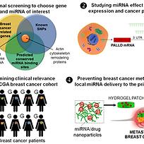 Local microRNA delivery targets Palladin