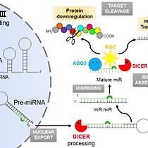 microRNAs.png