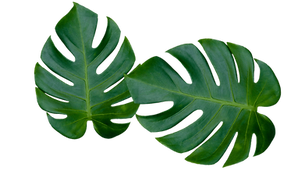 OBS Monstera.png