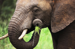 Largest Vegan on Earth, Elephant