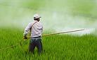 herbicide-avignon-in-rice-field-avignon-