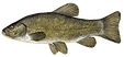 Tench.png