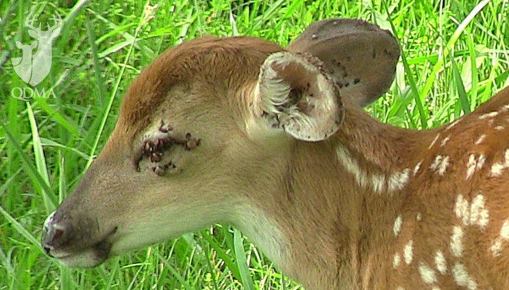 Infested Deer