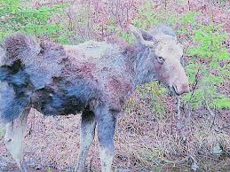 Moose2.png