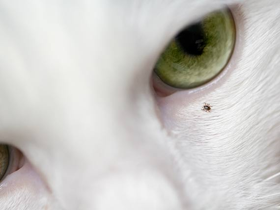 Ticks Near the Eyes