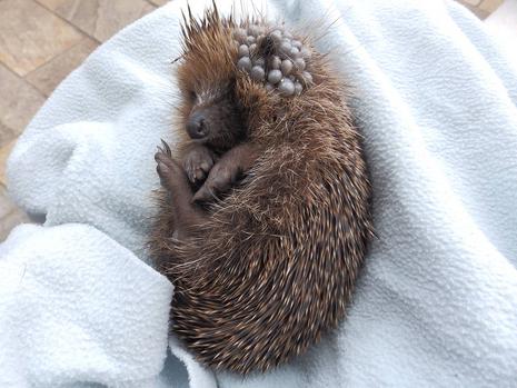 Infested Hedgehog