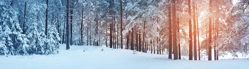Pine trees covered with snow on frosty e