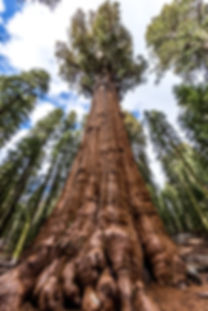 Largest tree in the world - General Sher