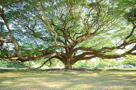 the big tree in thailand with branch.jpg