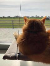 kat kijkt uit het raam