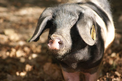 porc Basque