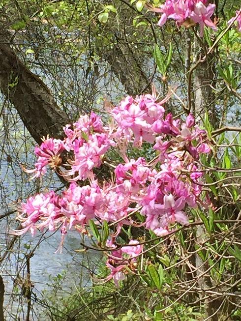 Nesbitt Shoals Flower.JPG
