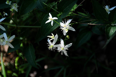 Nesbitt Shoals flower.jpg