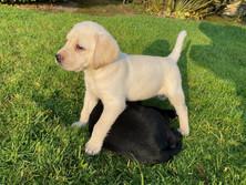 Saeda's pups Nala and Docco