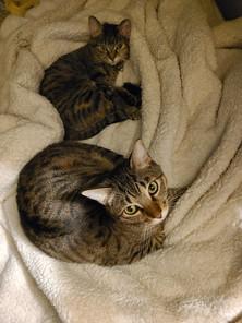 Stephanie's Kitties Lana and Maverick