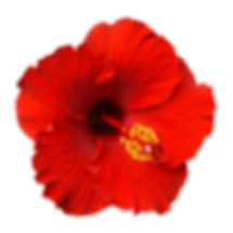 RED HIBISCUS.png