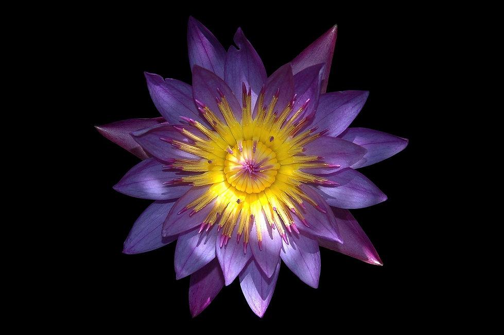 plant-flower-purple-petal-sacred-lotus-a