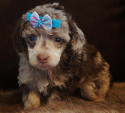 chocolate merle poodle boy