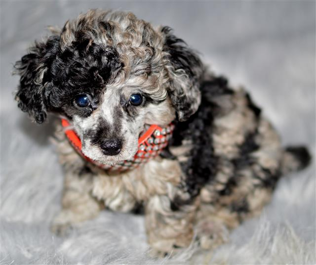 Akc Poodle Puppies Perfectpekskennel