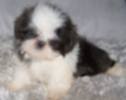 tiny blue and white shih tzu.jpg