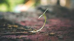 Placenta Planting