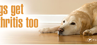 Could your dog have arthritis ?