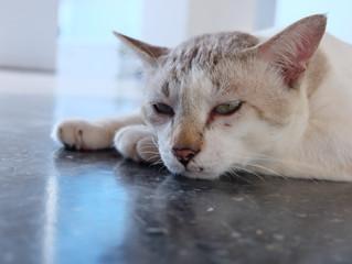 Cats Get Arthritis Too