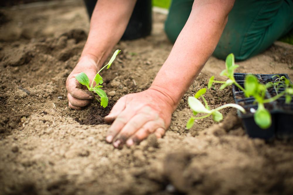 Proper timing is key. Learn more from UGA's Vegetable Garden Calendar:
