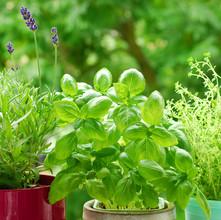 Lavender, Basil & Thyme