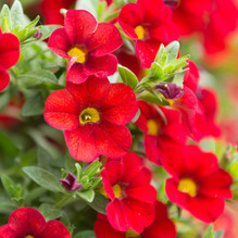 Red Million Bells (Calibrachoa)